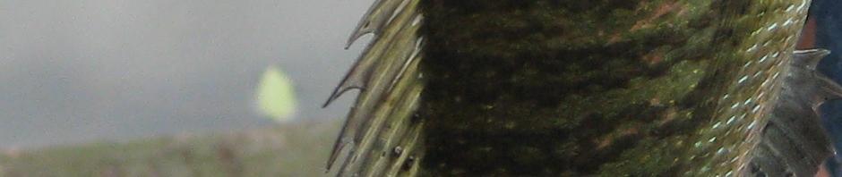 fish_h