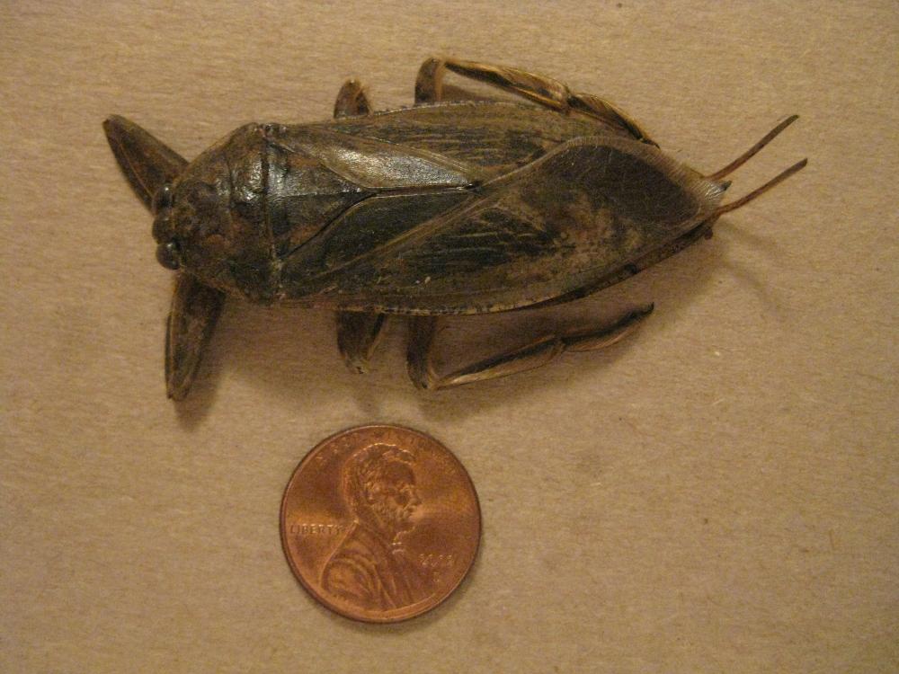 Giant palmetto bug