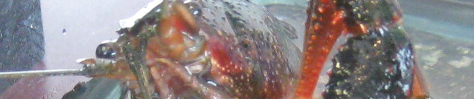 red_swamp_crayfish_h