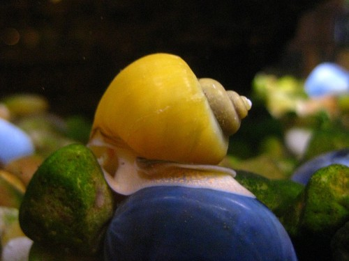Gold inca snails raymie 39 s zoo for Snails in fish tank