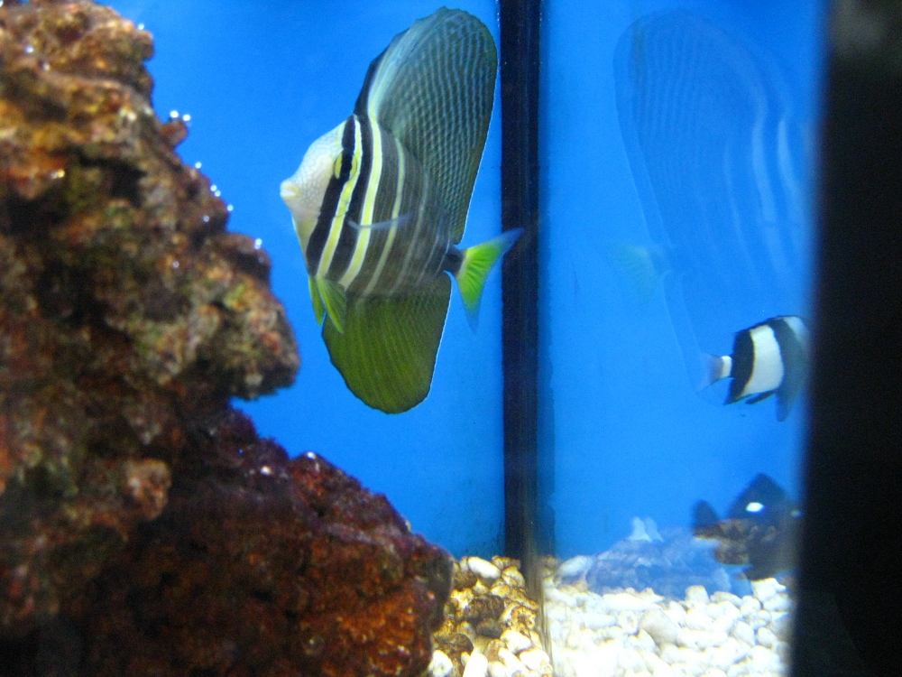 Sailfin tang raymie 39 s zoo for Petco live fish