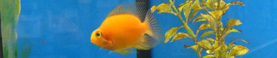 Blood Parrot Cichlid