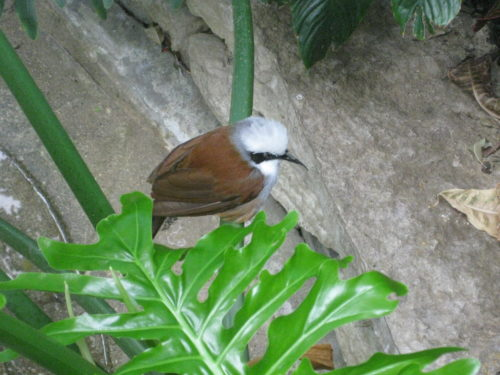 white_crested_laughing_thrush